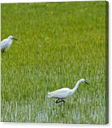 Little White Egret Canvas Print
