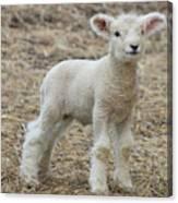 Little White Lamb Canvas Print