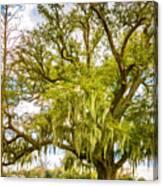 Live Oak And Spanish Moss 2 - Paint Canvas Print