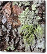 Live Oak Lichen II Canvas Print