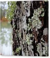 Live Oak Lichen Canvas Print
