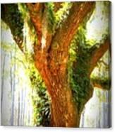 Live Oak With Cypress Beyond Canvas Print