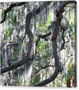 Live Oak With Spanish Moss And Palms Canvas Print