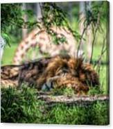 Living In Harmony - Lion Canvas Print