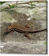 Lizard Tanning Canvas Print