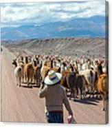 Llama Herd On Road Canvas Print