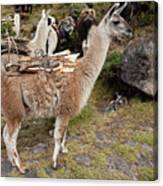 Llamas Carrying Firewood Canvas Print