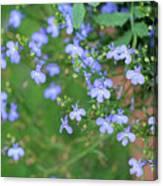 Lobelia Flowers Canvas Print