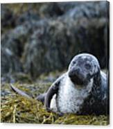 Loch Dunvegan's Harbor Seal Canvas Print