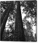 Lofty Tree Canvas Print