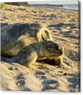 Loggerhead Sea Turtle Returning To The Ocean Canvas Print