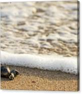 Loggerhead Turtle Hatchling 3 Delray Beach Florida Canvas Print