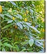 Lollipop Bush In Bourbon Resort Gardens Near Iguazu Falls National Park-brazil  Canvas Print