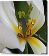 London White Tulip Canvas Print