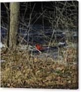 Lone Cardinal Canvas Print