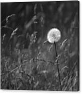 Lone Dandelion Black And White Canvas Print