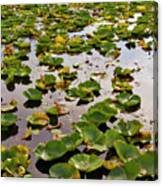 Lone Lake Lily Pads Canvas Print