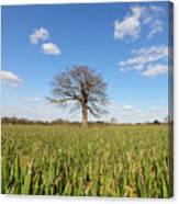 Lone Oak Tree In Wheat Field Canvas Print