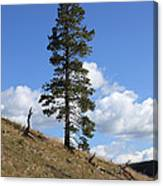 Lone Pine, Yellowstone Canvas Print