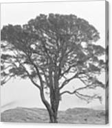 Lone Scots Pine, Crannoch Woods Canvas Print