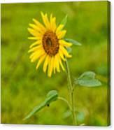 Lone Sunflower Canvas Print