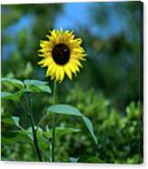 Lone Sunflower  Canvas Print