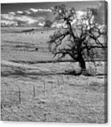Lone Tree And Cows 2 Canvas Print