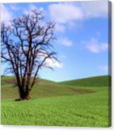 Lone Tree - Rolling Hills - Summer Sky Canvas Print