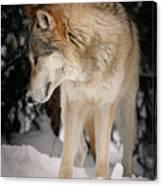 Lone Wolf IIi Canvas Print