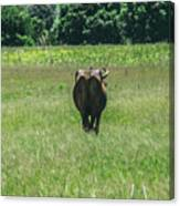 Lonely Cow 2 Canvas Print