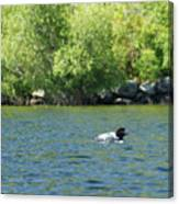 Lonely Loon Taking The Red Eye Canvas Print