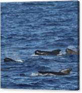 Long-finned Pilot Whales Canvas Print