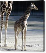 Long Legs - Giraffe Canvas Print