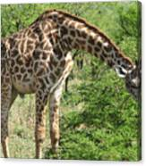 Long Neck Canvas Print