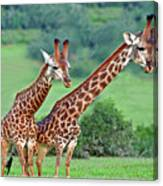 Long Necks Together Canvas Print