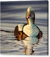 Long Tail Duck Canvas Print