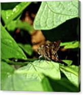 Long Tail Skipper Butterfly 1 Canvas Print