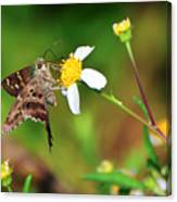Long-tailed Skipper Butterfly Canvas Print