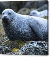 Long Whiskers On A Harbor Seal Canvas Print