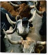 Longhorn Cattle Are Packed Canvas Print