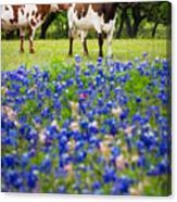 Longhorn Duo Canvas Print
