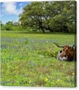 Longhorn Spring Canvas Print