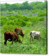 Longhorns - Grazing In The Wilds Canvas Print