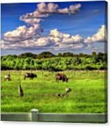 Longhorns At The Ranch Canvas Print