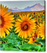 Longs Sunflowers Canvas Print