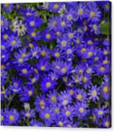 Longwood Hybrid Cineraria Canvas Print