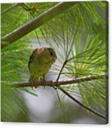 Looking Down - Common Sparrow - Passer Domesticus Canvas Print