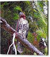 Looking For Prey - Red Tailed Hawk Canvas Print