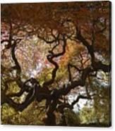 Looking Thru A Japanese Maple Canvas Print