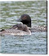 Loon Lullaby Canvas Print